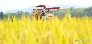 当下,正值中季水稻收割时节,泰和县农民抓住晴好天气收割中稻