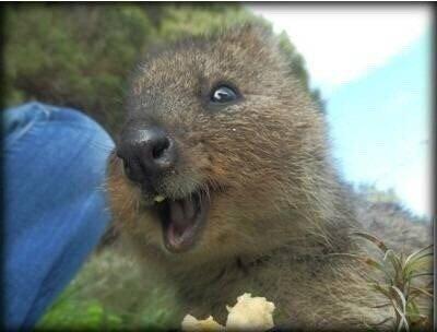 短尾矮袋鼠,是澳洲的一个濒危物种,也是最小的袋鼠之一