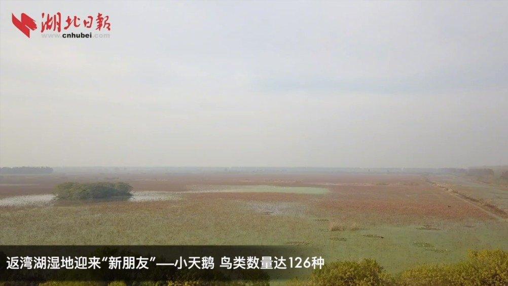 """快来看""""天鹅颈""""!小天鹅飞来返湾湖湿地"""