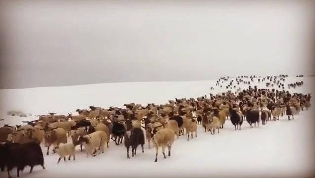 冬季,羊群穿过雪域草原(.snowliontours)