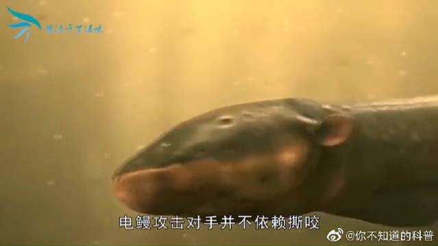 为什么食人鱼没有称霸亚马逊河流?食人鱼:遇上它就是触电的感觉