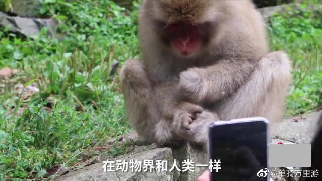 日本动物园举办猴子选美活动,冠军得主全靠游客投票
