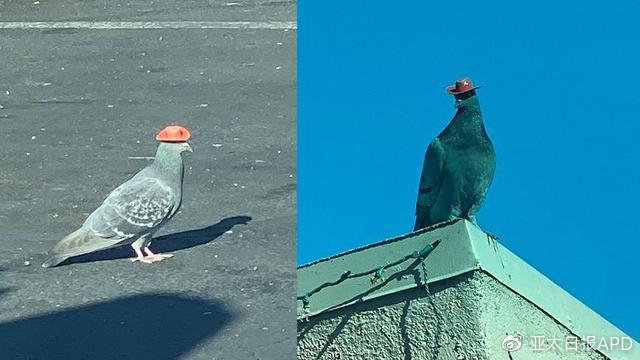美国拉斯维加斯惊现一群头戴红帽子的鸽子,可爱背后是愤怒!