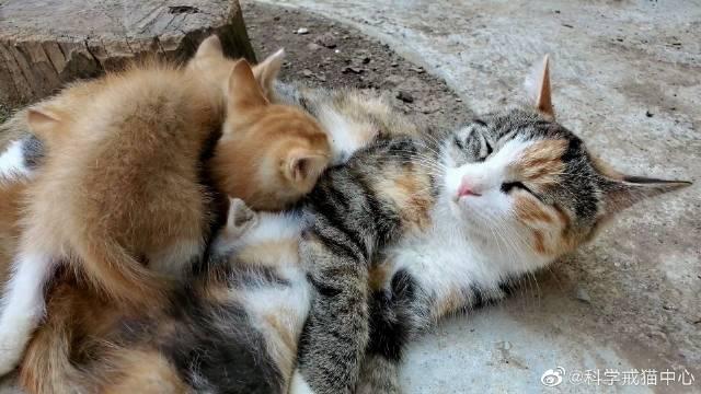 猫妈妈居然还会唱着歌给猫宝宝喂奶,动物的世界真神奇