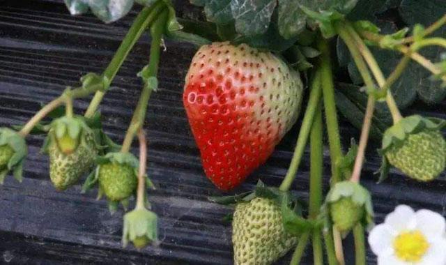草莓丰收了,为什么别人家的草莓果实个头差不多是你家