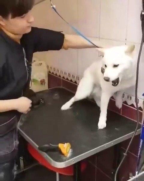 经验丰富的美容师很快让焦虑不安的柴犬平静下来,你学会了吗?
