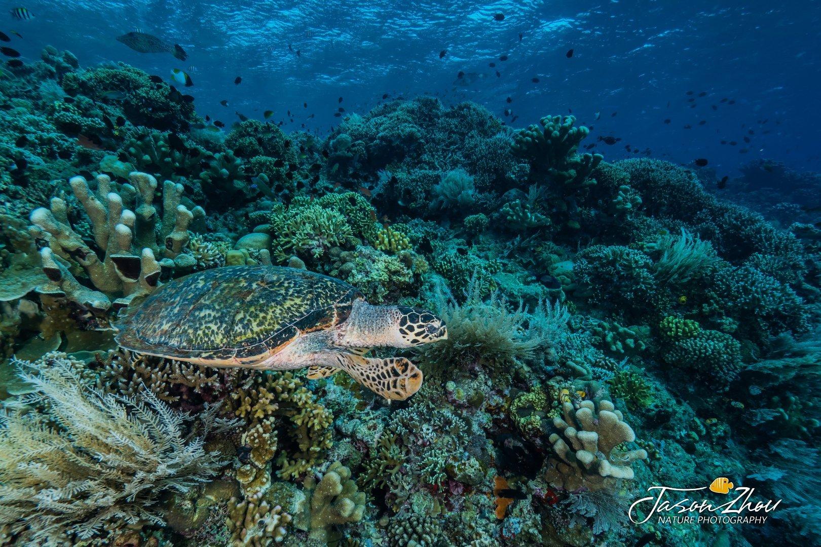 印尼美娜多布纳肯国家海洋公园的峭壁上住满了大大小小的海龟