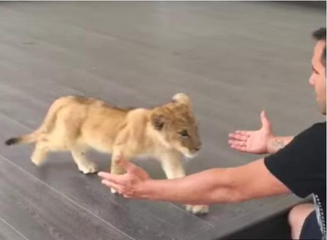 小画风狮子一脸高冷,饲养员突变鹦鹉,下一秒双手张开绯胸原本相关图片