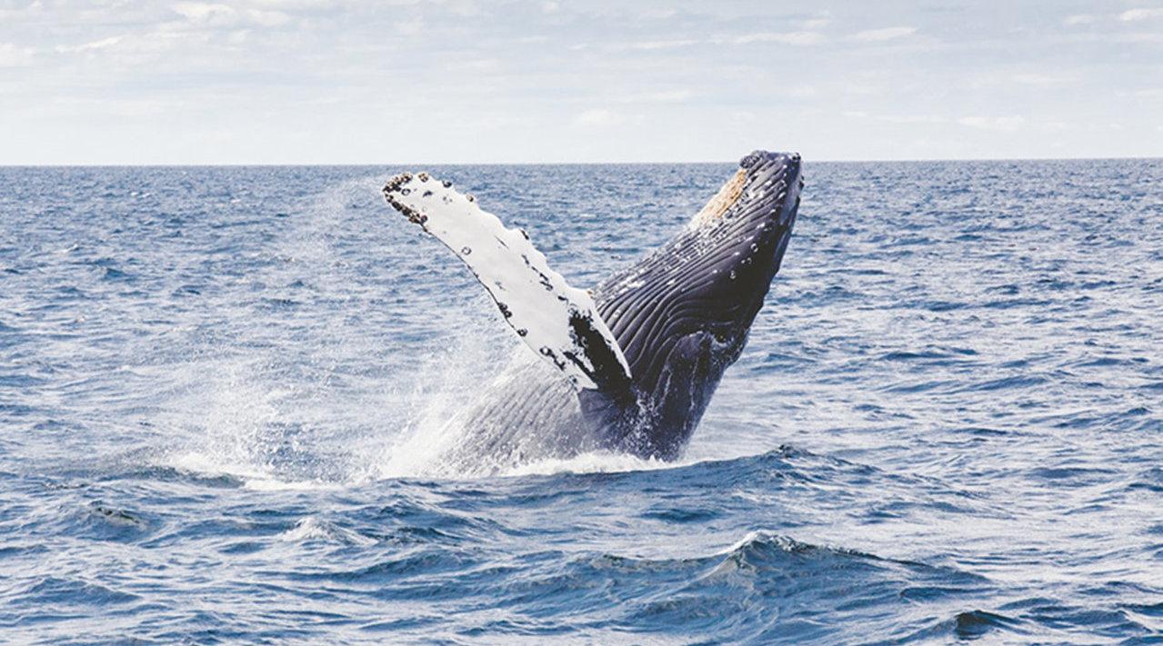 虽然重启商业捕鲸,但日本说捕鲸并非获利最大途径