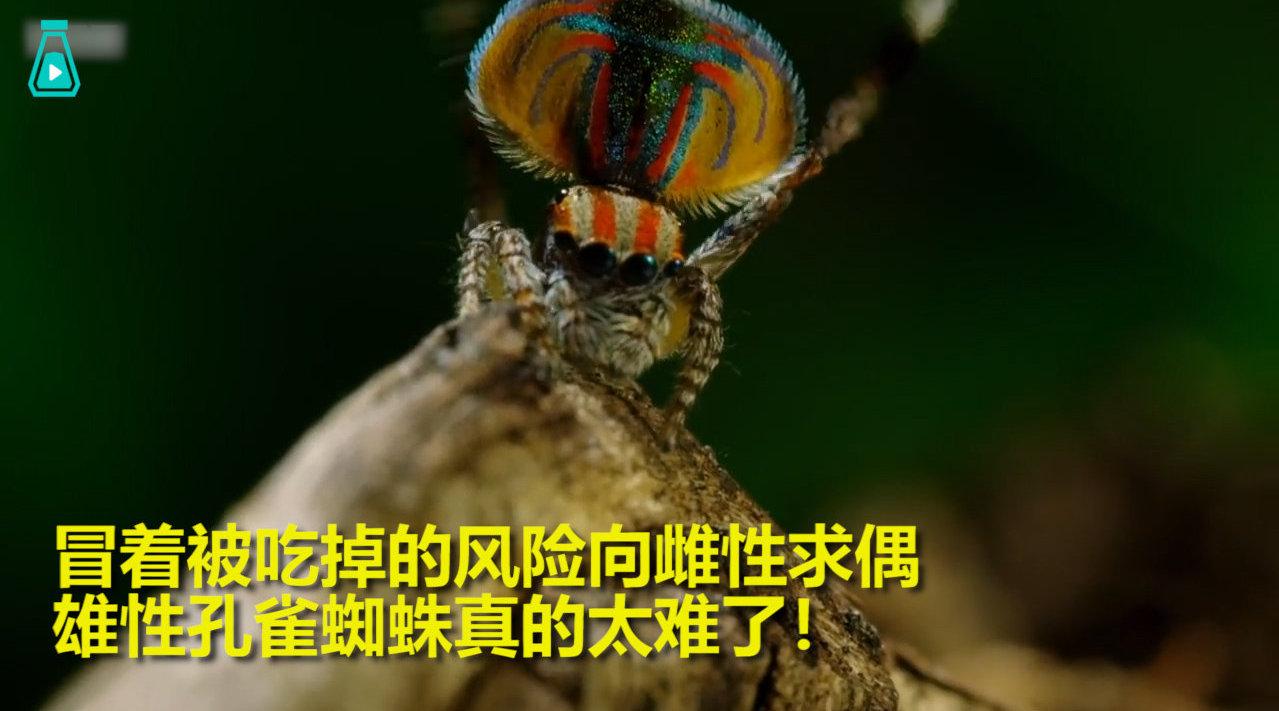 外形华丽的雄性孔雀蜘蛛,每次都是冒着生命危险求偶..