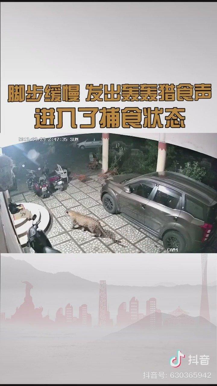 猎豹闯进民宅偷袭看家狗
