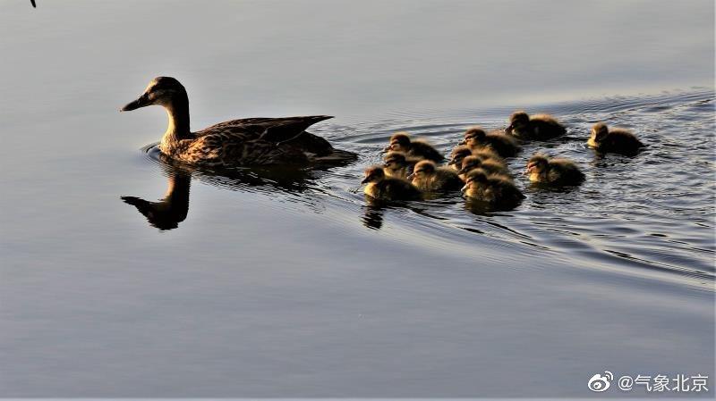今天上午在玉渊潭公园,鸭妈妈带领刚出生的宝宝寻找食物