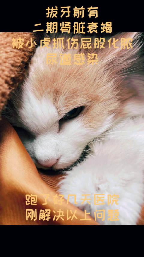 十六岁二期肾衰老猫 拔牙护理过程