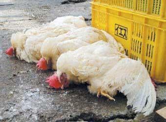 如何防止鸡瘟病毒?养鸡人必须弄懂的技巧!