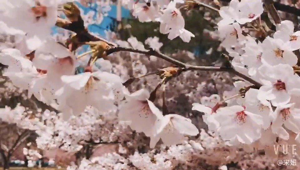 盼着盼着!樱花节启幕啦,今年亮点多多