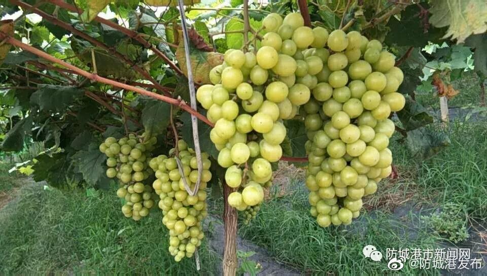 上思县圣峰葡萄园里的阳光玫瑰葡萄日渐成熟【