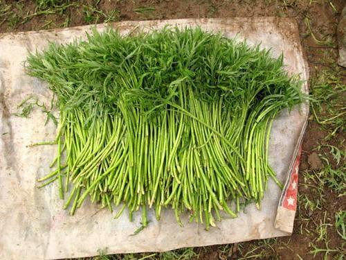 突然想总结一下南京人常吃的绿叶菜(不包括豆类、瓜类、茄类)