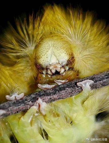 茸毒蛾广泛分布在丹麦山毛榉树林,于6月份发育成淡灰色飞蛾