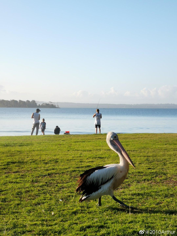 大鸟鹈鹕草地上散散步晒晒太阳吃吃BBQ,不要太舒服了