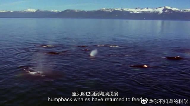 座头鲸冒险来浅滩捕食,每年都有搁浅死亡的座头鲸
