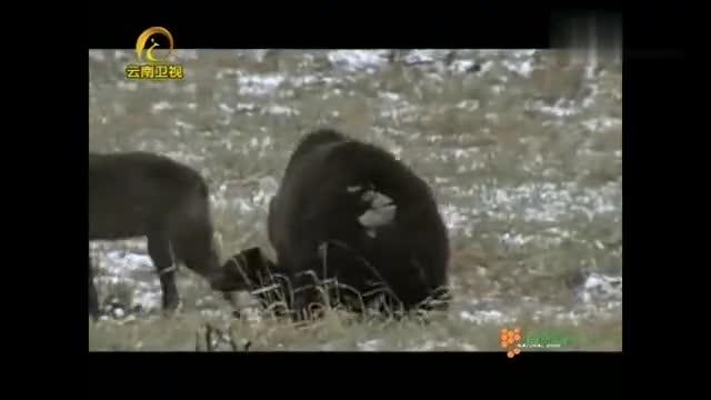 灰熊与狼:郊狼盯上灰熊母子,它的目标是幼熊,母熊不会袖手旁观