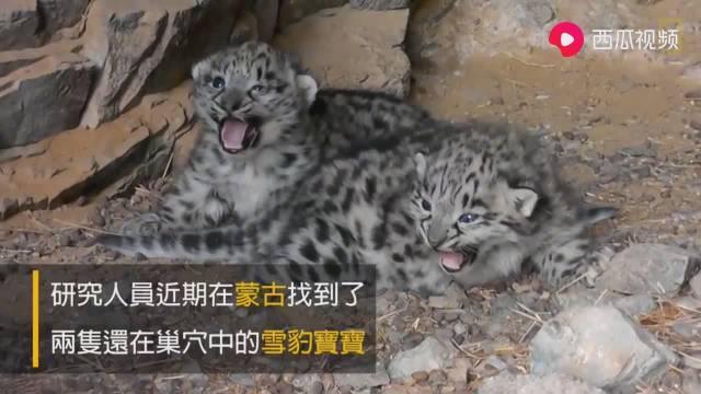 在洞穴意外发现两只可爱的雪豹幼崽