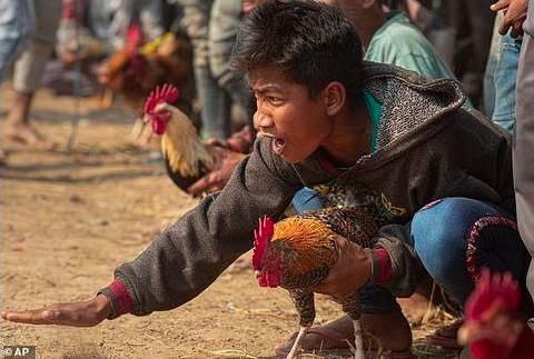 """飞来横祸 印度男子看斗鸡比赛被一只鸡""""杀死"""""""