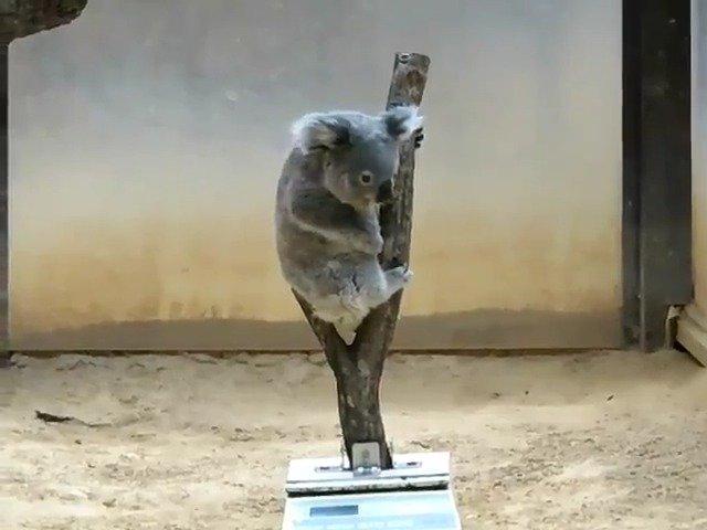 旅游:爱知县名古屋市东山动植物园,给考拉称体重。Twitter