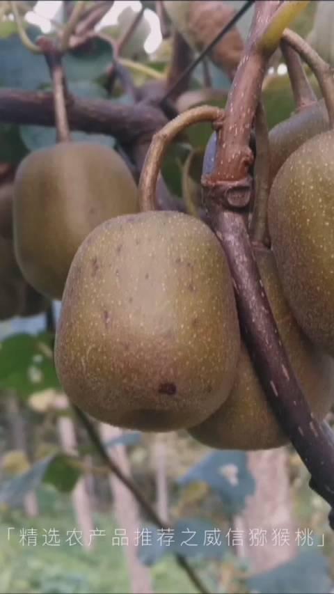 云南威信精选农产品之红心猕猴桃,不一样的味道,甜到你心里