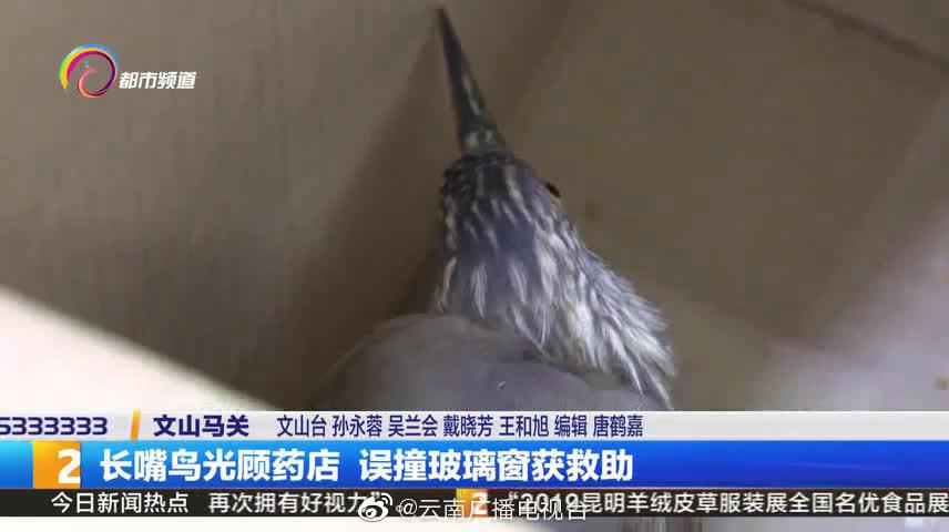 云南文山一长嘴鸟光顾药店  误撞玻璃窗获救助