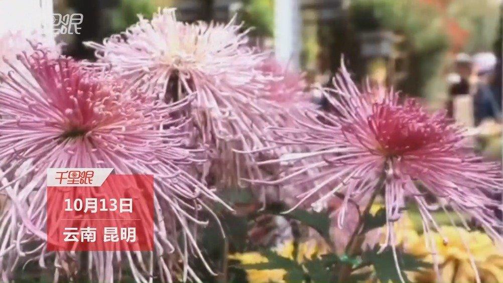 昆明大观公园的菊花迎来了盛开季 游客扎堆拍摄打卡