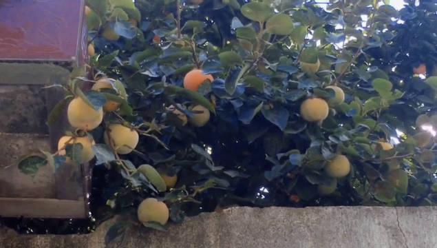 金秋的柿子树