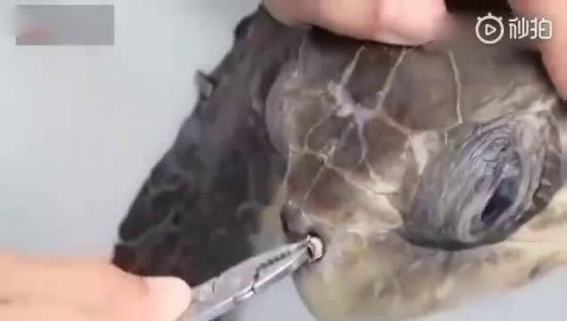 大海龟鼻孔里插着一根吸管,看到被拔出的那一刻,瞬间轻松!