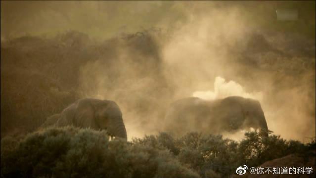 清晨,纳米比亚沙漠的大象,不断将沙子喷到身上