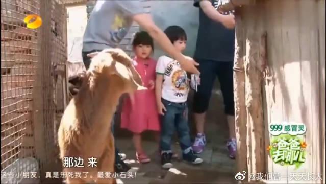 Kimi牵手看羊,王诗龄学说台湾话,逗笑了王岳伦,真是太可爱了!