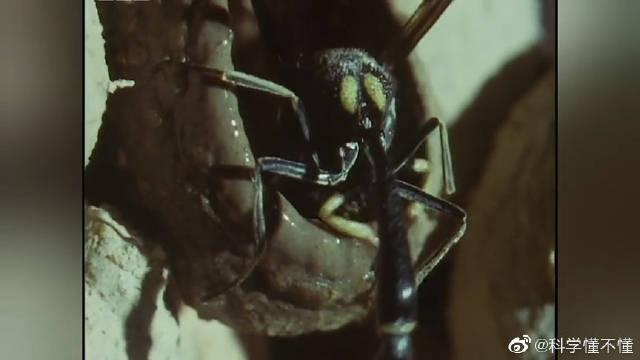 寄生蜂是一位杰出的陶瓷匠,造出精美的瓮给代孕的虫子做产房