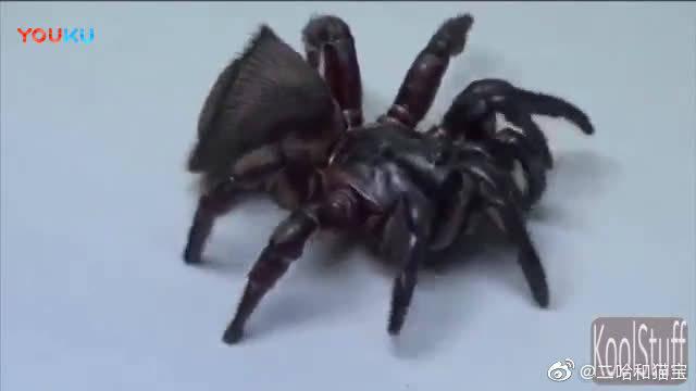 长着猪脸的蜘蛛, 我怎么看都像是印章!
