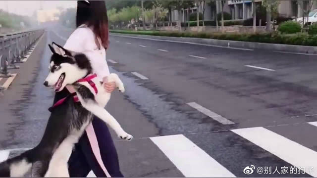 带二哈过马路真的是一件很困难的事!它又傻又怂!