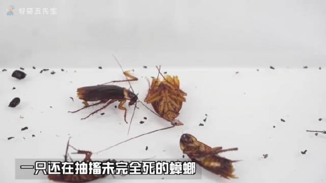 没有食物和水,蟑螂互相之间会自相残杀吗?实验结果是会的