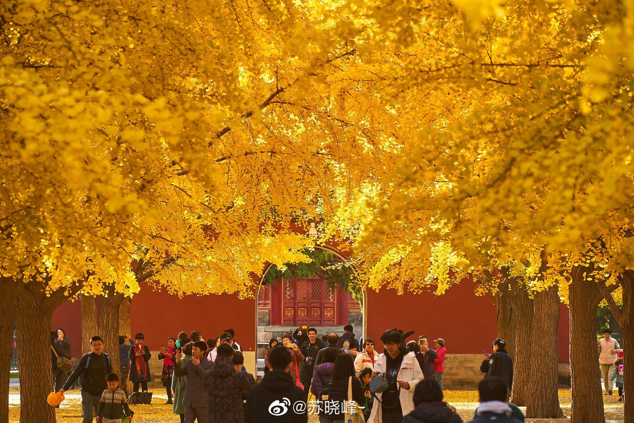 风来满地秋。中山公园银杏秋色。(上周日拍的)