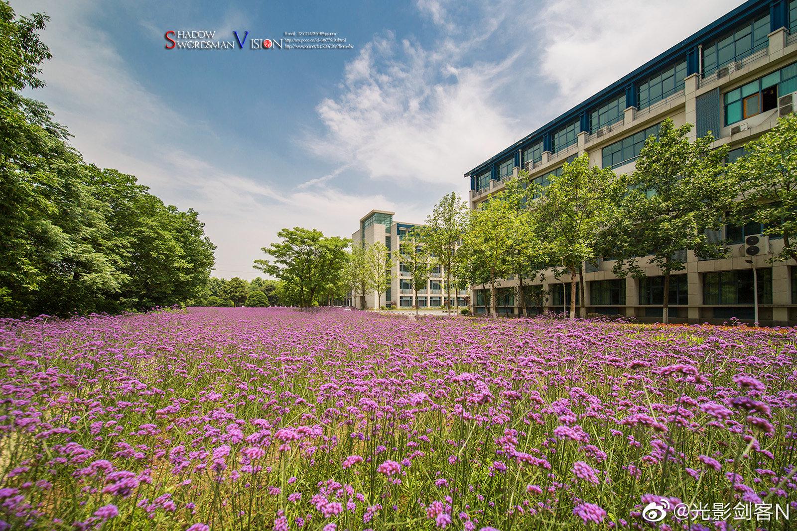 梦幻花海南京工业职业技术学院的紫顶龙芽(柳叶马鞭草)现在正是盛