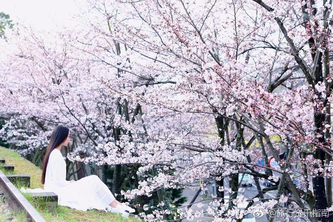 醍醐寺,在京都一众寺庙中,似乎并不为人熟知,然而一旦说到赏樱