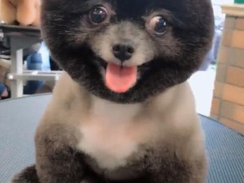 主人给自家狗狗修剪了一下毛发,只把头给剃光了,真像一假狗