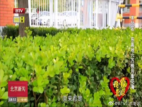 我爱北京:丰台区 东高地六万株月季花海