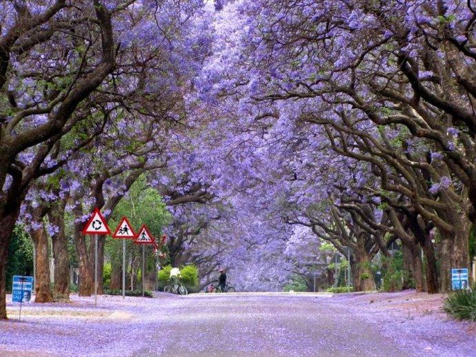 南非紫色季 津巴布韦蓝花楹树盛开!