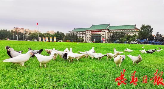 """飞翔的""""精灵""""再现 400只白王鸽落户文化广场"""
