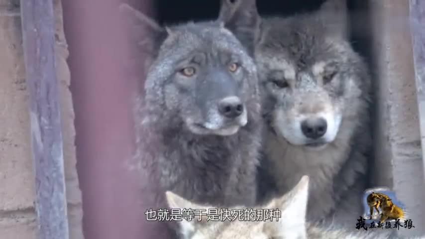 养狼人的工作很容易?狼群造反乱成一堆,养狼人光听声音都害怕!