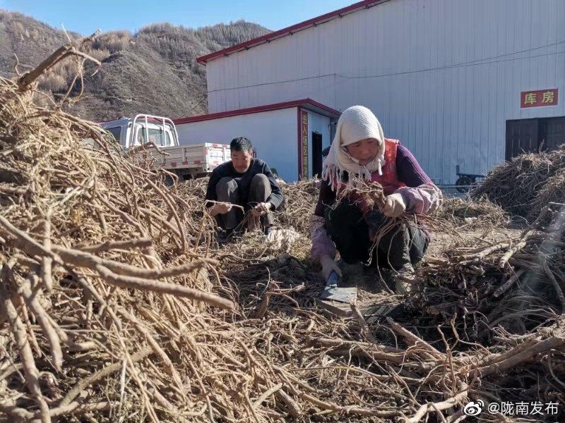 11月10日,宕昌哈达铺镇药乡农民专业合作社联合社员工正在分拣黄芪