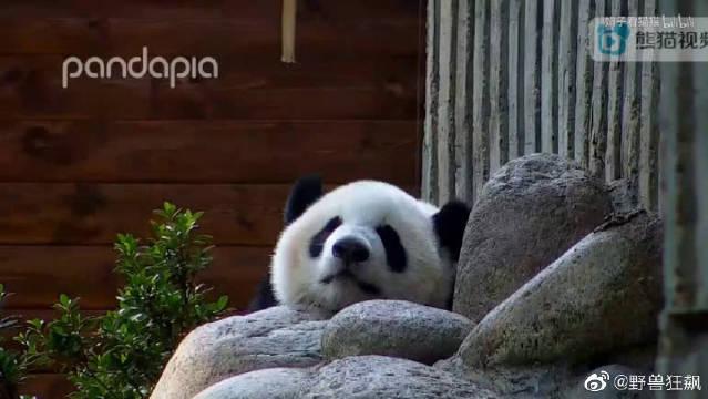 大熊猫萌宝、萌四,小四真是一天一个亚子,一天比一天肥!大熊猫