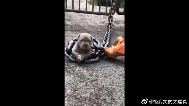 这就是你说的恶犬?搞笑了吧!它这么小,还没有铁链子大呢